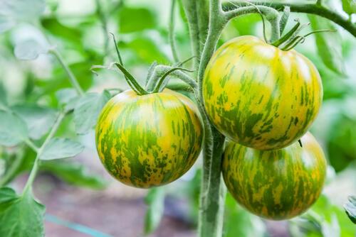 これで完熟?!緑色のトマト【グリーントマト】について解説 | 食・料理 | オリーブオイルをひとまわし