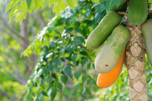 育て パパイヤ 方 の パパイヤの特徴や育て方、野菜としての栽培方法も紹介! 農業・ガーデニング・園芸・家庭菜園マガジン[AGRI PICK]